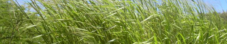 Guinea grass, Maui
