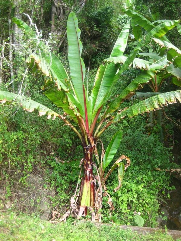 Enset (Ensete ventricosum) plant habit, Mozambique