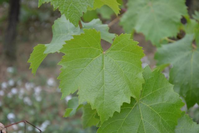 Grape leaves, cépage Grolleau noir