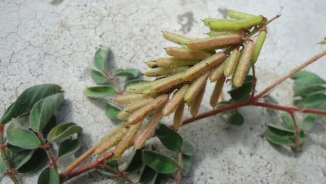 Hairy indigo (Indigofera hirsuta), fruits, Brazil