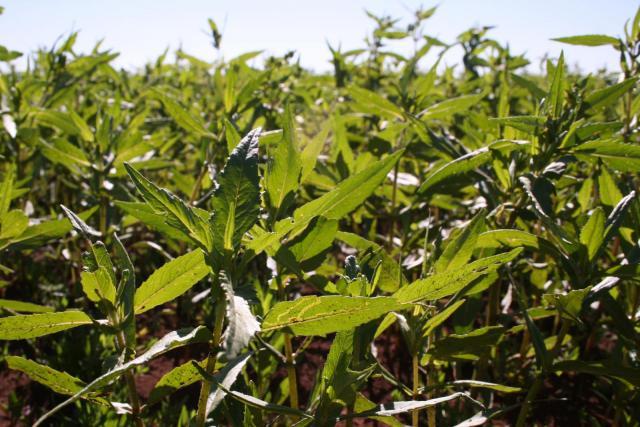 Niger (Guizotia abyssinica) crop