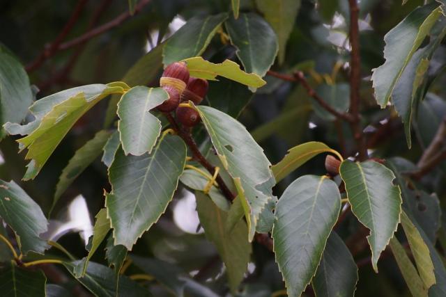 Blue Japanese oak (Quercus glauca), leaves and acorns