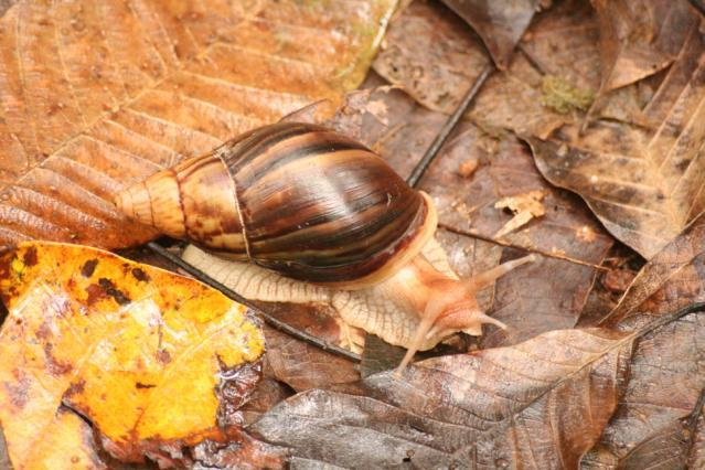 Achatina immaculata (African Land Snail)