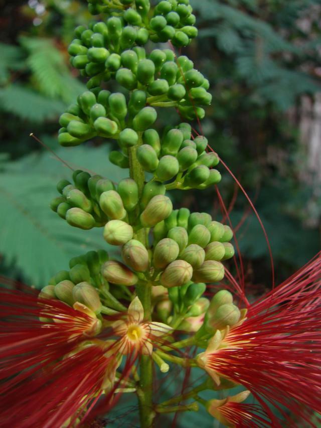 Calliandra (Calliandra calothyrsus), close-up flower