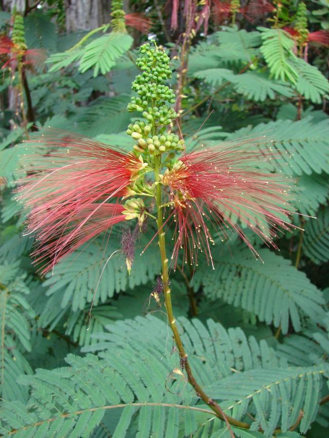 Calliandra (Calliandra calothyrsus), flowers and leaves, Hawaii