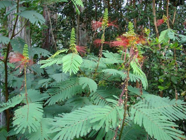 Calliandra (Calliandra calothyrsus), habit, Hawaii