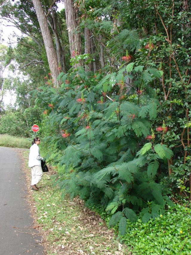 Calliandra (Calliandra calothyrsus), habit, Hawaii
