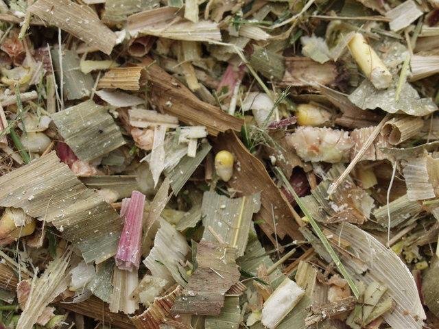Chopped maize before ensiling, UK