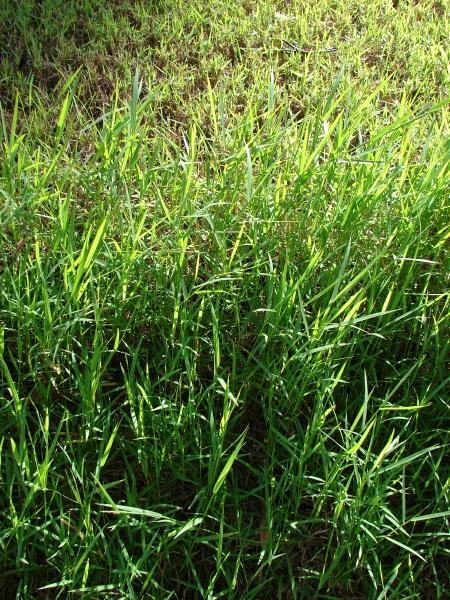 African couch grass (Digitaria abyssinica), habit, Maui, Hawaii