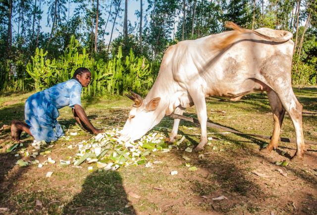 Feeding enset leaves and pseudostems to cattle