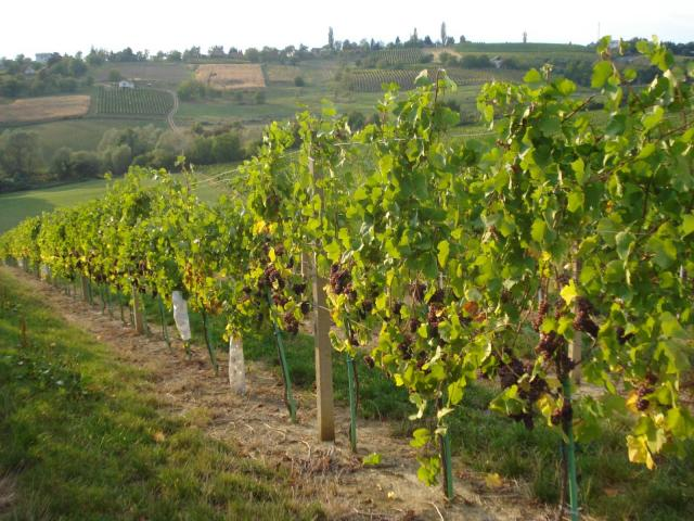 Grapevines in northern Croatia
