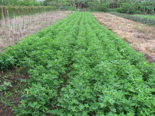 Groundnut (Arachis hypogaea), field
