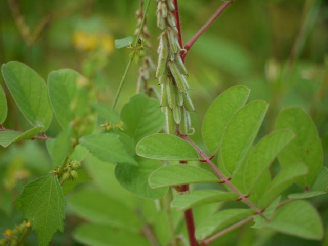 Hairy indigo (Indigofera hirsuta), leaves and fruits