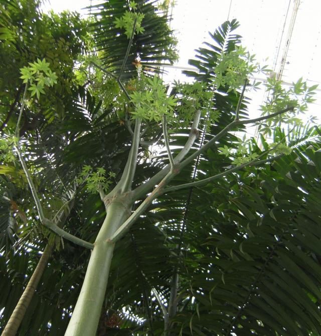 Kapok (Ceiba pentandra), young tree, Kew Gardens, London
