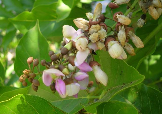 Karanja (Millettia pinnata), inflorescence