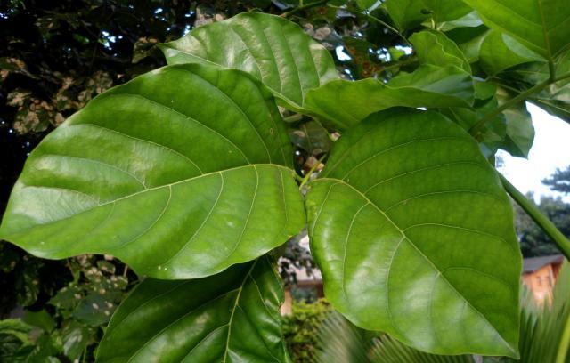Karanja (Millettia pinnata), leaves