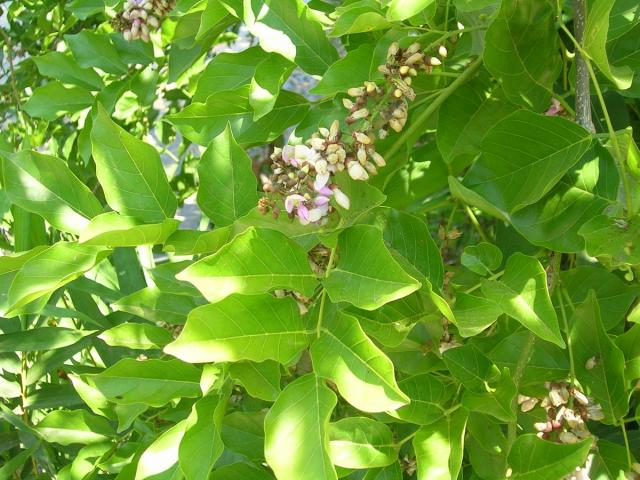 Karanja (Millettia pinnata), leaves and flowers