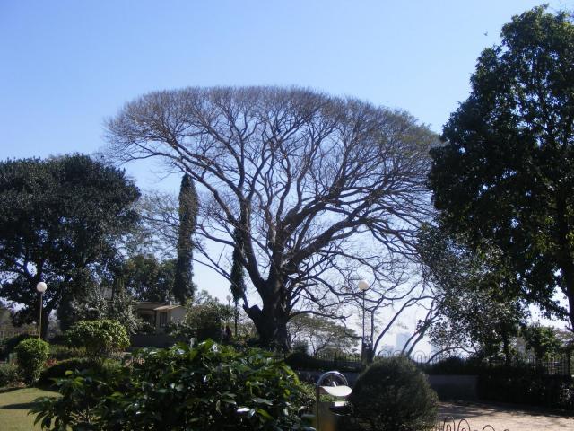 Albizia (Albizia amara), leafless tree habit