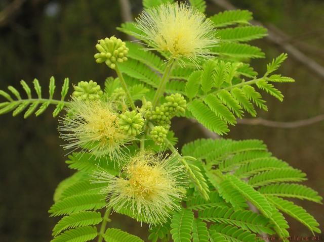 Albizia (Albizia amara), leaves and flowers