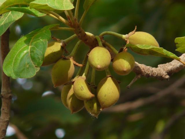 Mahua (Madhuca longifolia), fruits