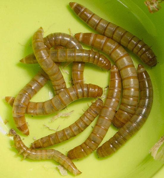 Mealworms (Tenebrio molitor)