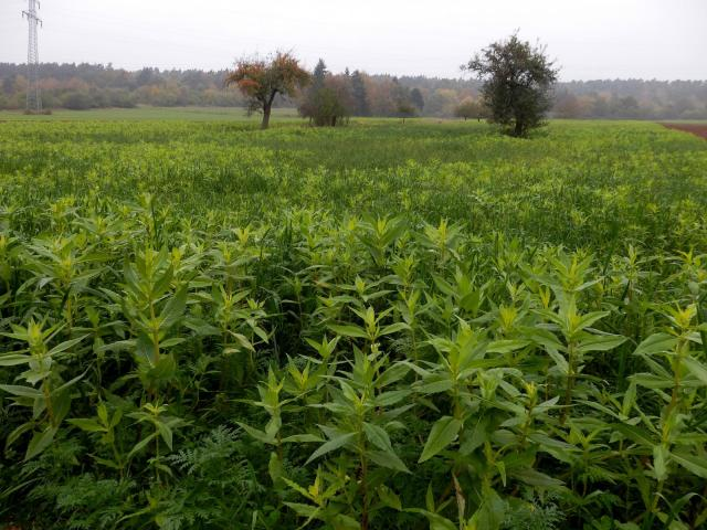 Niger (Guizotia abyssinica) crop, Uberach, Germany