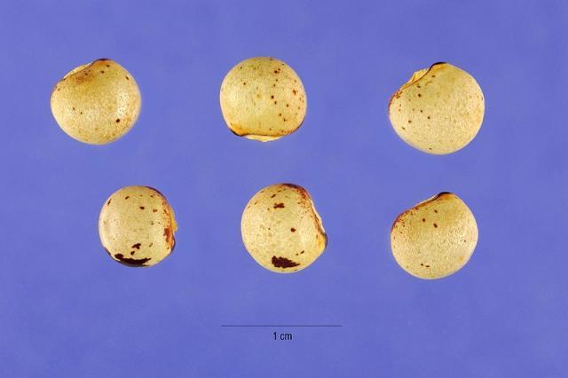 Pigeon pea (Cajanus cajan), seeds