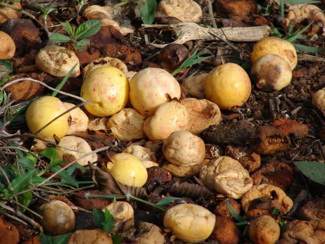 Guava (Psidium guajava) fruits on ground, Maui, Olinda, Hawaii