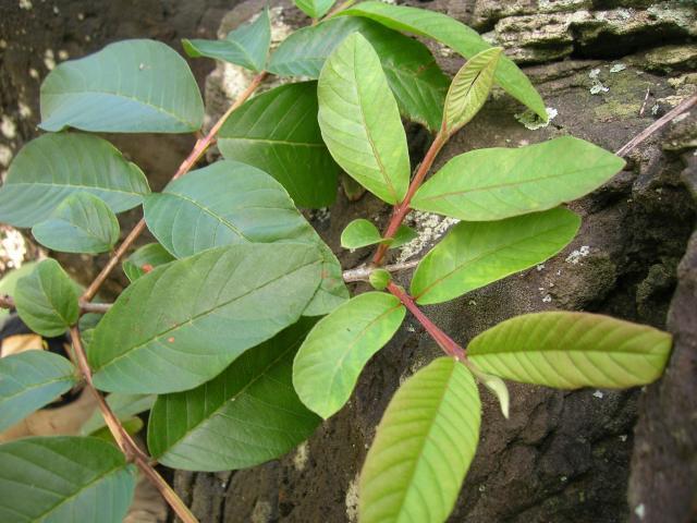 Guava (Psidium guajava) leaves, Oahu, Molii, Hawaii