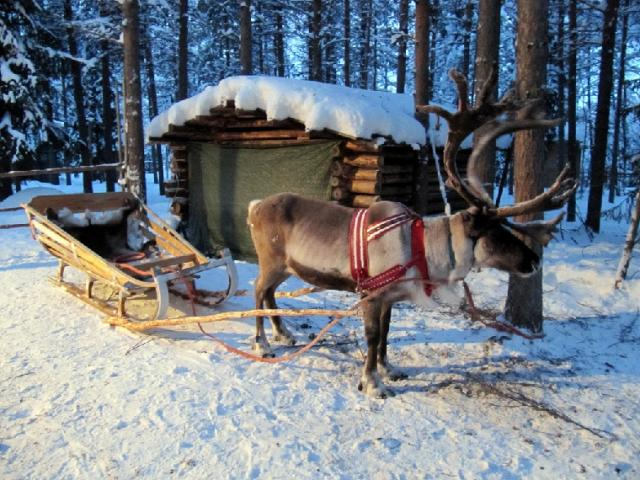 Feedipedia wishes you a Merry Christmas and a Happy New Year - Reindeer sleigh ride, Kuusamo, Lapland