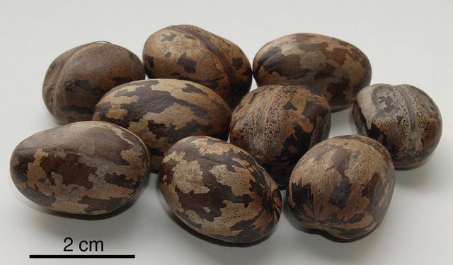 Rubber tree (Hevea brasiliensis) seeds