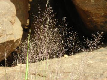 Sporobolus (Sporobolus helvolus) inflorescences