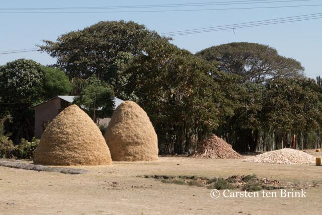 Stacks of drying tef hay (Ethiopia)