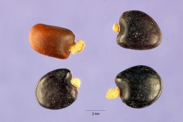 Tagasaste (Cytisus proliferus), seeds