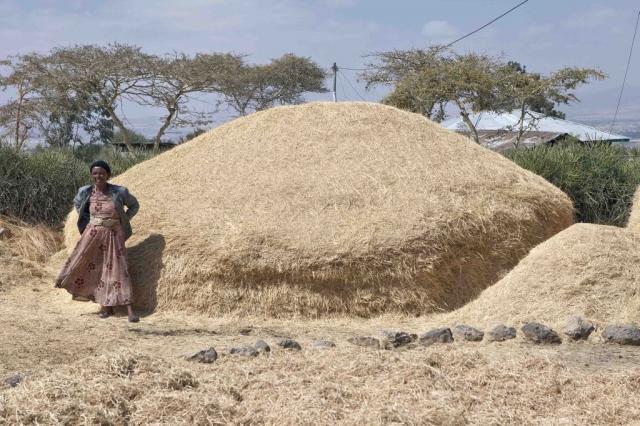 Tef (Eragrostis tef), pile of straw, Ethiopia