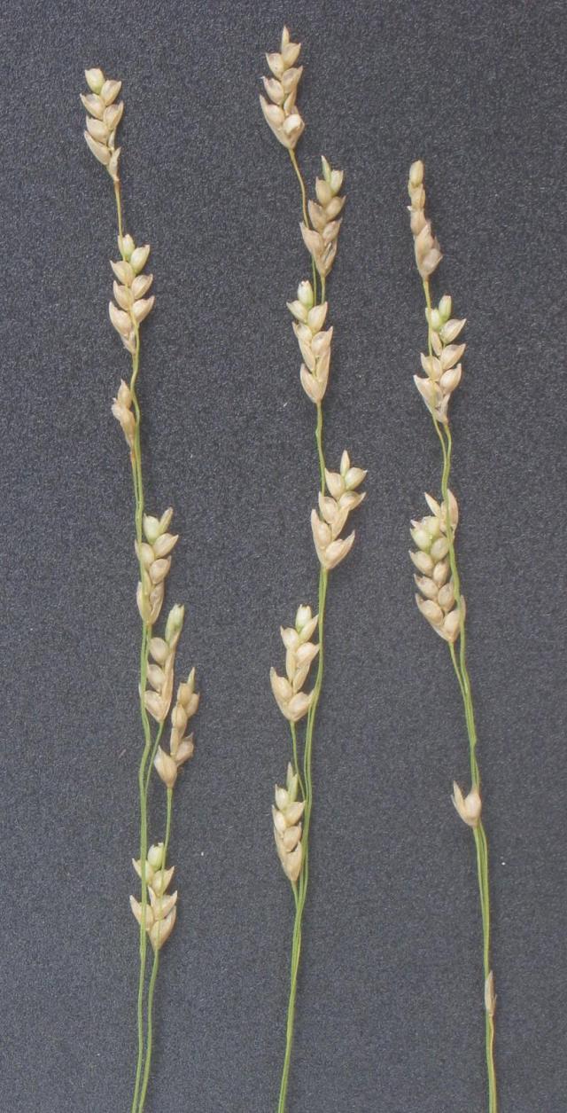 Teff (Eragrostis tef), spikelets