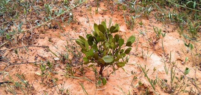 Yeheb (Cordeauxia edulis), plant