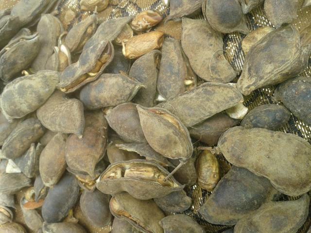 Yeheb (Cordeauxia edulis), pods
