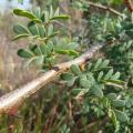 Black thorn (Acacia mellifera), branch, leaves and thorns, Pelindaba, South Africa