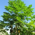 Papaya tree at Kahanu Gardens, Maui