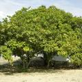 Cashew (Anacardium occidentale) tree habit, Brazil
