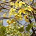 African laburnum (Cassia sieberiana) flowers