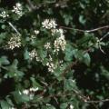 Combretum aculeatum