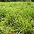 Elephant grass (Pennisetum purpureum)