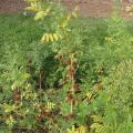 Sainfoin foliage