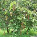 Bauhinia (Bauhinia thonningii) tree, Malawi