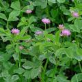 Persian clover (Trifolium resupinatum), foliage and flowers