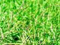 Bread grass (Brachiaria brizantha) cv Marandu, Brazil