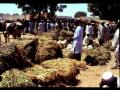 Cowpea (Vigna unguiculata) straw