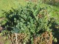 Sulla (Hedysarum coronarium)